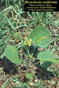 Rhynchosia reniformis