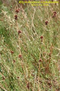 Rhynchospora cephalantha