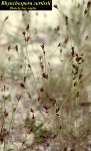 Rhynchospora curtissii