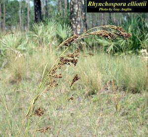 Rhynchospora elliottii