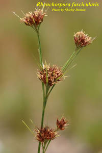 Rhynchospora fascicularis