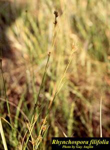 Rhynchospora filifolia