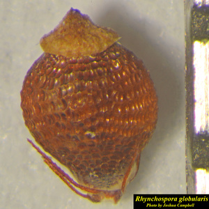 Rhynchospora globularis