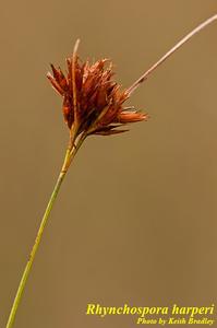 Rhynchospora harperi