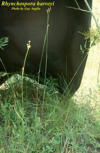 Rhynchospora harveyi