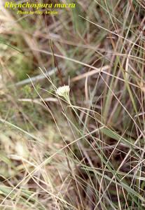 Rhynchospora macra