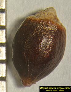 Rhynchospora megalocarpa