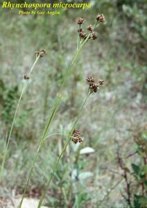 Rhynchospora microcarpa