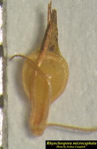 Rhynchospora microcephala