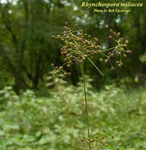 Rhynchospora miliacea