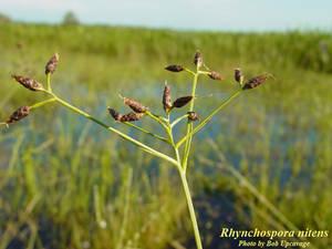 Rhynchospora nitens