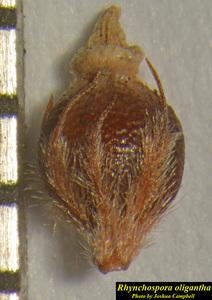 Rhynchospora oligantha