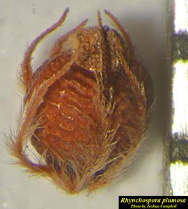 Rhynchospora plumosa