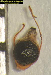 Rhynchospora scirpoides