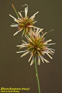 Rhynchospora tracyi