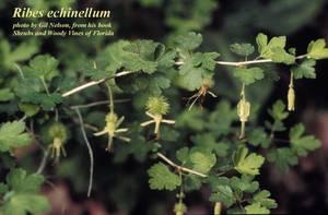 Ribes echinellum