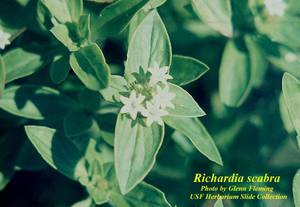 Richardia scabra