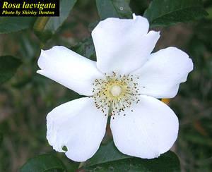 Rosa laevigata