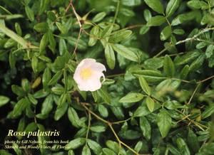 Rosa palustris