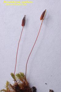 Rosulabryum capillare