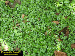 Rousselia humilis