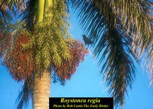 Roystonea regia