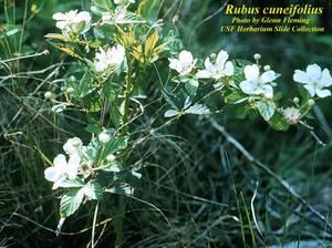 Rubus cuneifolius
