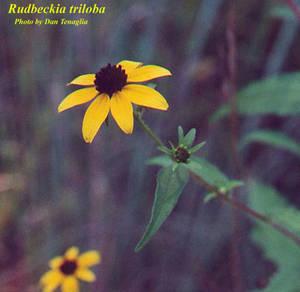 Rudbeckia triloba