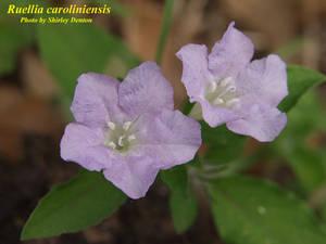 Ruellia caroliniensis