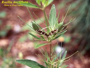Ruellia noctiflora