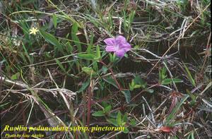 Ruellia pedunculata subsp. pinetorum