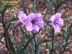Ruellia simplex