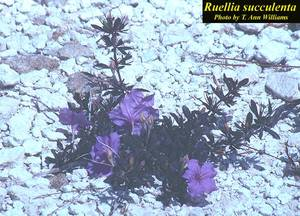 Ruellia succulenta