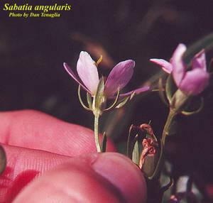 Sabatia angularis