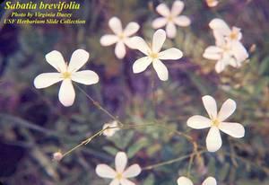 Sabatia brevifolia