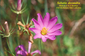 Sabatia decandra