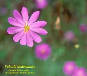 Sabatia dodecandra