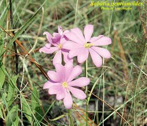 Sabatia gentianoides