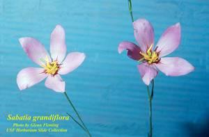 Sabatia grandiflora