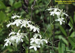 Sabatia macrophylla