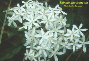 Sabatia quadrangula