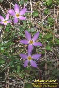 Sabatia stellaris