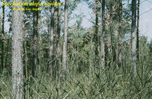 Saccharum alopecuroides
