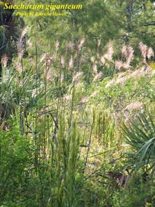 Saccharum giganteum