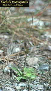 Sachsia polycephala