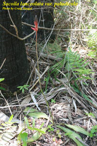 Sacoila lanceolata var. paludicola