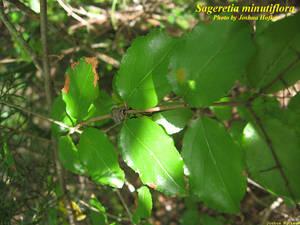 Sageretia minutiflora