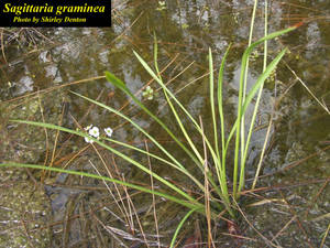 Sagittaria graminea