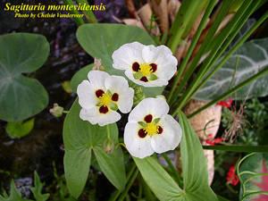 Sagittaria montevidensis