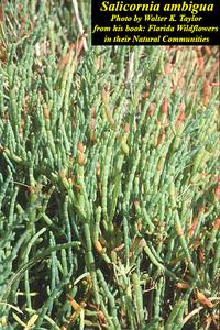 Salicornia ambigua